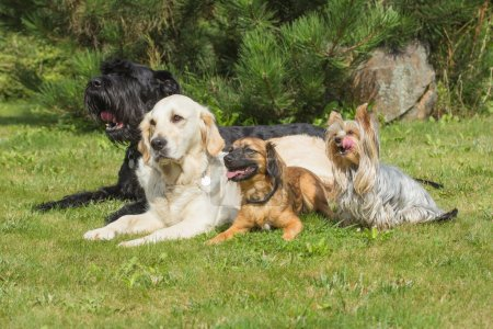 The group of dogs is lying on the lawn. Yorkshire ...