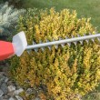 Gardening - cutting wintergreen plant by electric ...