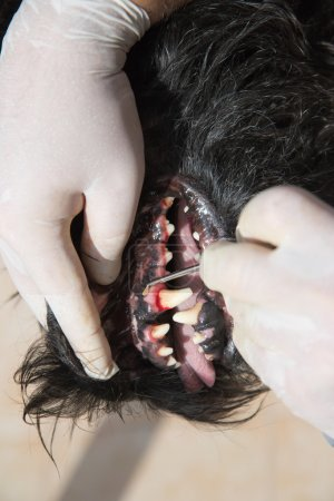 Treatment of canine tooth by healing ointments.