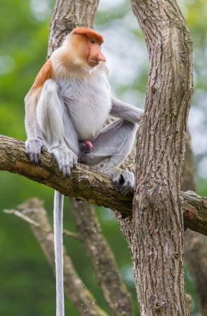 Photo pour Nasique dans un arbre, c'est leur habitat naturel - image libre de droit
