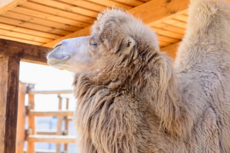 Bactrian camel exotic animals at the zoo...