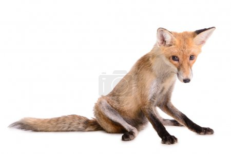 sad red fox isolated
