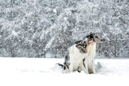 Border collie dog giving kiss