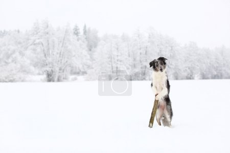 Blue merle border collie dog standing