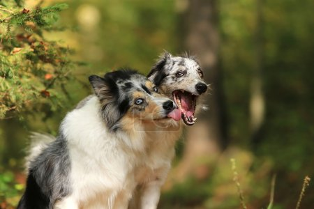Funny border collie dogs giving a kiss