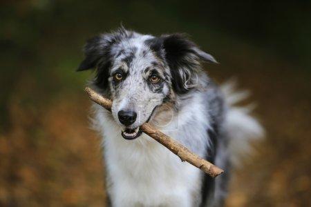 Border collie dog holding a stick