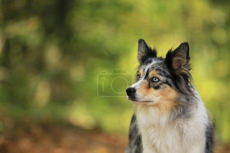 Border collie dog portrait on sunshine background