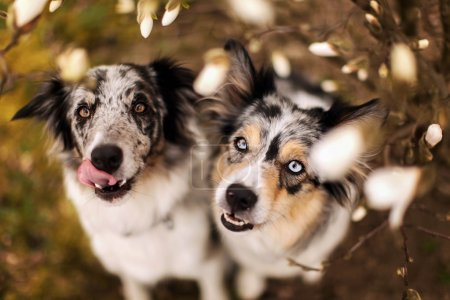 Two border collie dogs and white flowers
