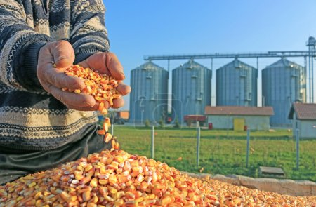 Photo pour Corn grains in a hands of successful farmer after harvest, in a background agricultural silo - image libre de droit