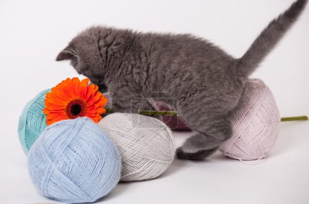 Little kitten playing with yarn