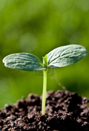 Green seedling in a soil