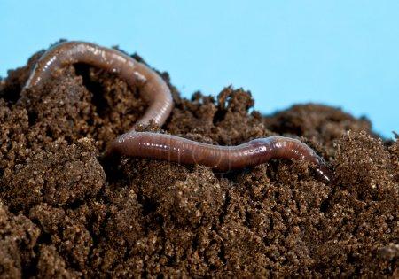 Earthworm in a heap of soil
