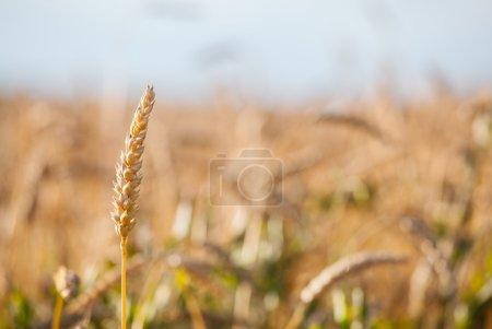 ear wheat close up