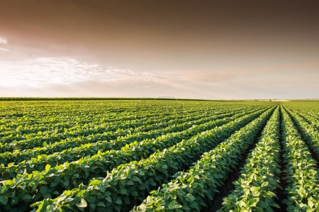 Photo for Soybean Field Rows in summer - Royalty Free Image