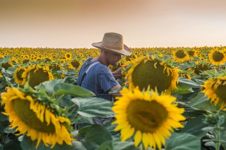 Farmer in sunflowers