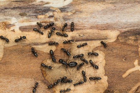 Black ant colony with queen