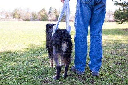 Injured dog walks in sling behind