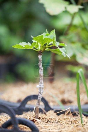 Photo pour Frais greffe une fente sur un arbre de figues jeunes dans l'agriculture - image libre de droit