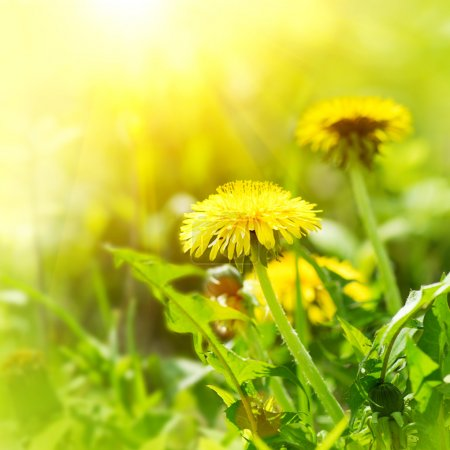 Foto de Diente de León flores creciendo en el campo de primavera - Imagen libre de derechos