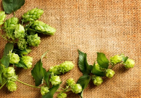 Fresh hop with leaves and cones