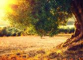 Plantation of olive trees at sunset.