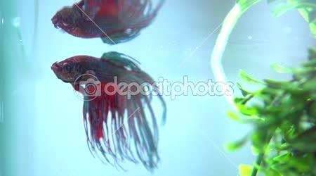 Barevné Betta ryby v akváriu