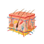 Human skin anatomy isolated on white photo-realistic vector illustration