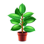 Ficus tree in pot isolated on white vector