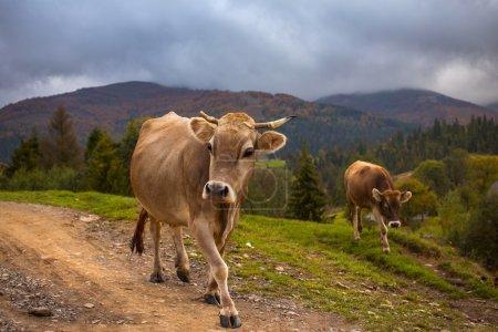 Las vacas van en un camino de montaña en las montañas de los Cárpatos .