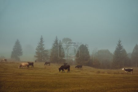 Cows graze in a pasture in the early misty morning.