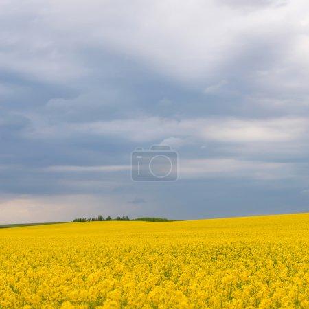 Incredibly beautiful landscape of flowering buckwheat field