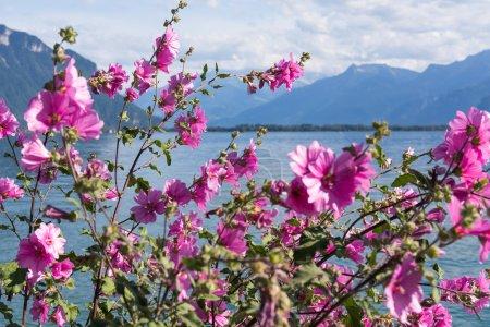Photo pour Fleurs contre les montagnes et le lac Léman depuis la digue à montreux. Suisse - image libre de droit
