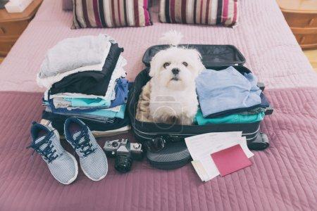Photo pour Petit chien maltais s'asseoir dans la valise ou le sac, lunettes de soleil et en attente pour un voyage - image libre de droit