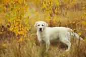 Labrador Vizsla szabadban
