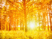Morning sunrise through the trees in the forest