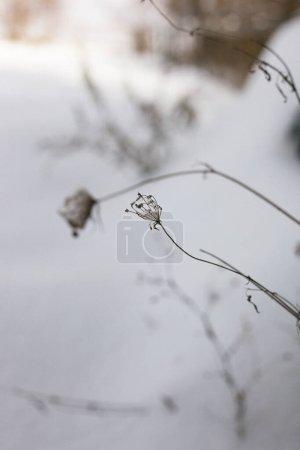 Photo pour Dentelle de la Reine Anne surmontée d'une couverture fraîche de neige dans une prairie en Virginie - image libre de droit