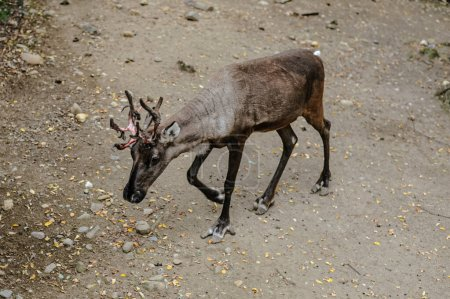 When deer fight back: deer fight to gain, or retai...