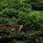 Deer fan of a good rest...