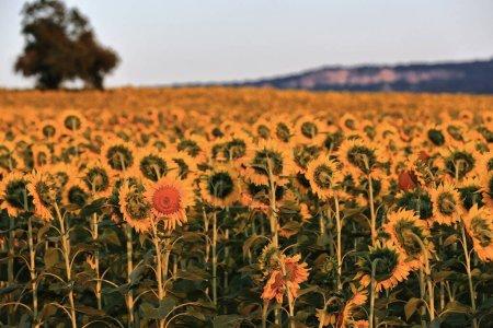 Photo pour Arbre solitaire dans un champ de tournesol-Helianthus annuus en pleine saison de croissance sous le ciel bleu clair et le soleil couchant tôt d'un jour d'août. Mezkia village-Alava-Euskadi Pays Basque-Espagne. - image libre de droit