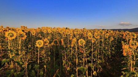 Photo pour Gros plan d'un champ de tournesol-Helianthus annuus en pleine saison de croissance sous le ciel clair et le soleil couchant tôt d'une journée ensoleillée de la mi-août. Mezkia village-Alava-Euskadi Pays Basque-Espagne. - image libre de droit