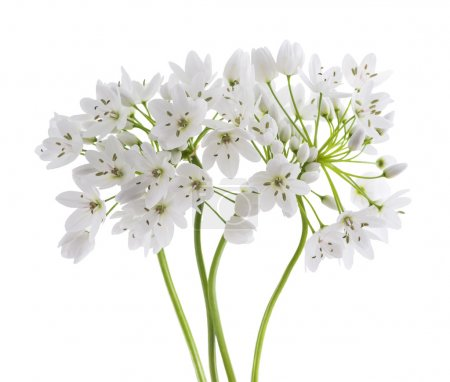 Photo for Wild garlic flowers isolated on white background - Royalty Free Image