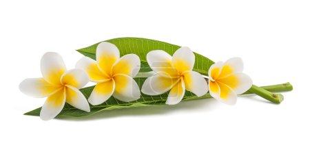 Foto de Flores Frangipani con hojas aisladas en blanco - Imagen libre de derechos