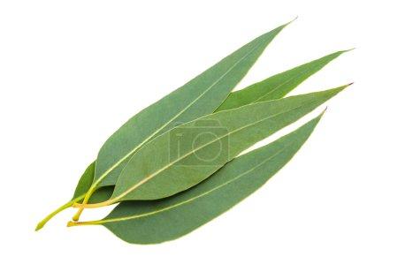 Photo pour Feuilles d'eucalyptus isolées sur fond blanc - image libre de droit