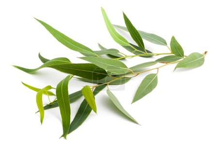 Photo pour Branche d'eucalyptus isolée sur fond blanc - image libre de droit