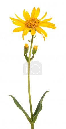 Photo for Arnica montana isolated on white background - Royalty Free Image