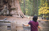 Sequoia vs Man. Giant Sequoias Forest and the Tourist Looking at