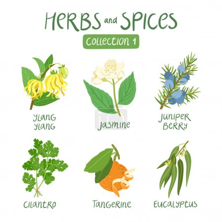 Illustration for Herbs and spices collection 1. For essential oils, ayurvedic medicine - Royalty Free Image