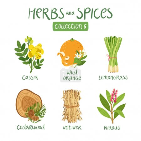 Illustration for Herbs and spices collection 5. For essential oils, ayurvedic medicine - Royalty Free Image