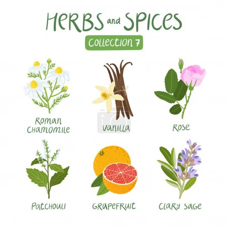 Illustration for Herbs and spices collection 7. For essential oils, ayurvedic medicine - Royalty Free Image