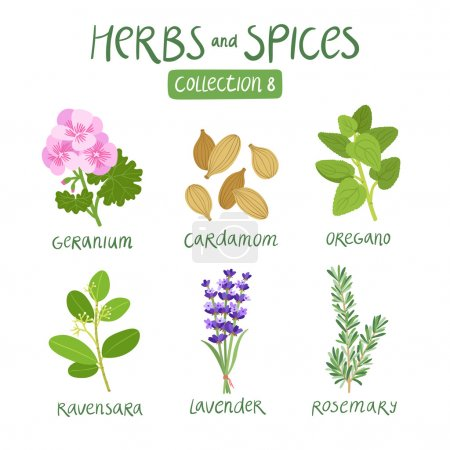Illustration for Herbs and spices collection 8. For essential oils, ayurvedic medicine - Royalty Free Image